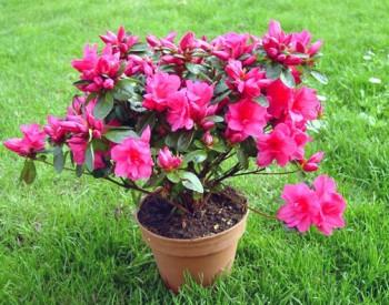Flori otravitoare ca Rhododendron